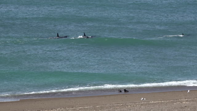 Pod of Orcas passing sea lion puppies on the beach in Punta Norte