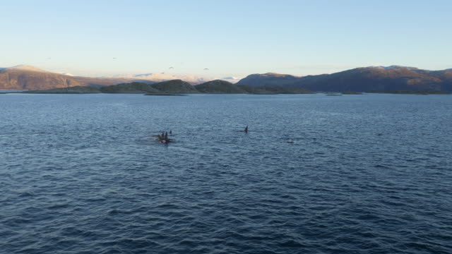 Pod of Orcas resting after the hunt in Norway