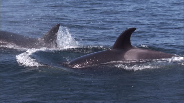 A pod of orcas surfaces. Available in HD.