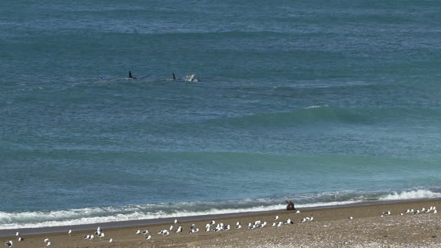 Pod of Orcas swim along the beach, sea lion watches them