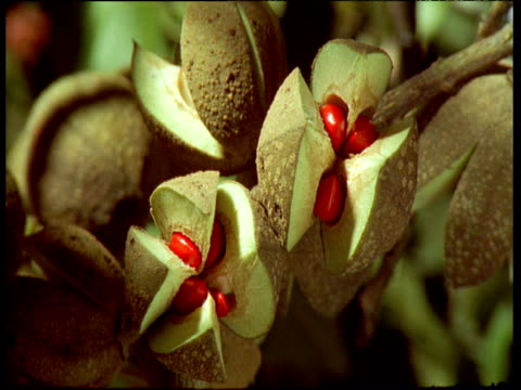 Pods open to reveal red fruit