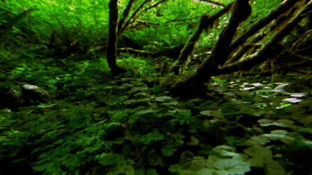 point of view over plants on floor of lush rain forest past bent mossy trees / Olympic Nat'l Park, Washington