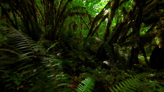 point of view over plants on floor of lush shadowy rain forest / Olympic National Park, Washington