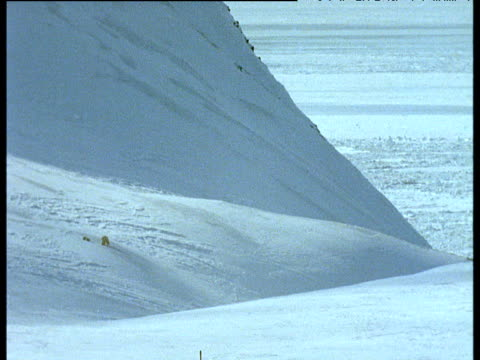 Polar bear and cub walk down snowy slope, Svalbard