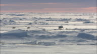 A polar bear and cubs walk and jump over sea ice in Svalbard, Arctic Norway.