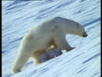 Polar bear and cubs walk over snow to den, CIS