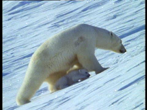 Polar bear and cubs walk over snow to den, CIS