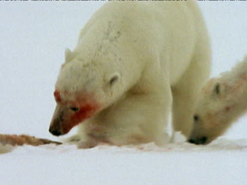 Polar bear and two cubs feeding on and fighting over seal carcass, Arctic