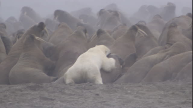 A polar bear attacks a walrus as other walruses panic nearby. Available in HD.