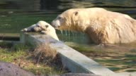 A polar bear cub born in November at France's Mulhouse zoo a female called Nanuq makes her first public appearance playing outdoors under the winter...