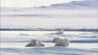 Polar bear cubs roll and play on sea ice in Svalbard, Arctic Norway.