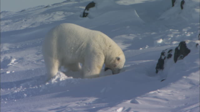 A polar bear digs a den in the snow, Svalbard, Arctic Norway.