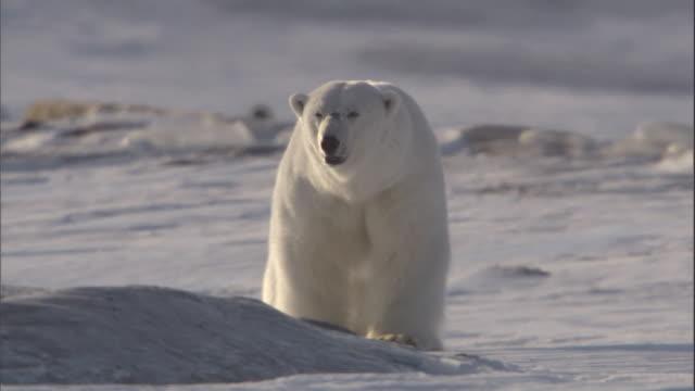 A polar bear lumbers through a snow field in Svalbard, Norway.