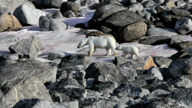 polar bear mother with cub walking over snow