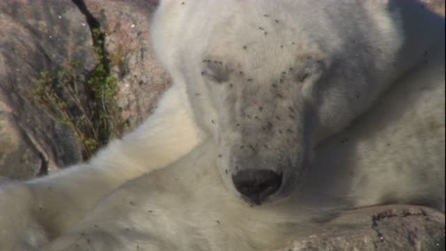 A polar bear rests on rocks as flies cover its snout in Arctic Canada. Available in HD.