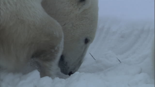 A polar bear scrapes snow with its front paws.