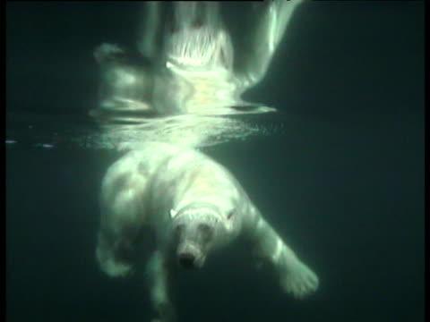 Polar bear swims and turns, Svalbard