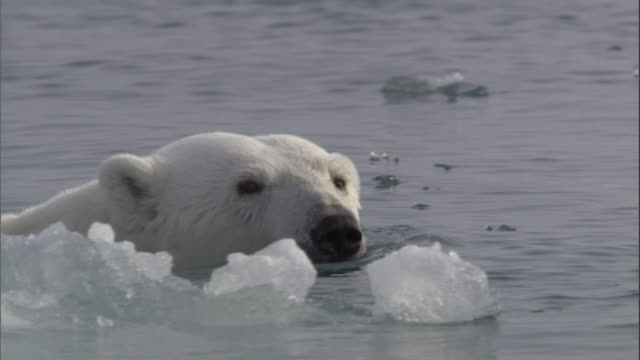 A polar bear swims past ice in Svalbard, Norway.