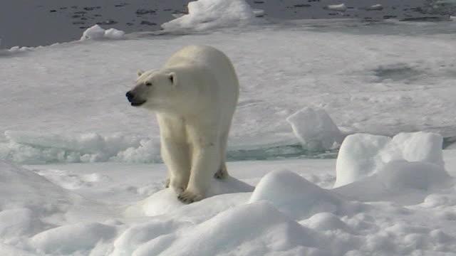 Polar bear walks forward, Svalbard, Norway