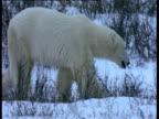 Polar bear walks over snow, Churchill