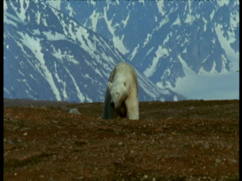 Polar bear walks towards camera with snow covered mountains in background, Svalbard