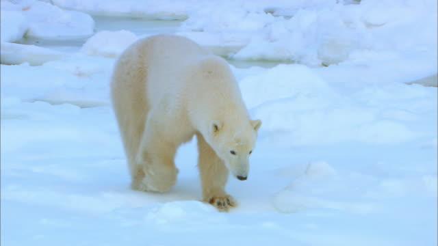 Polar bear wandering alone on snowfield