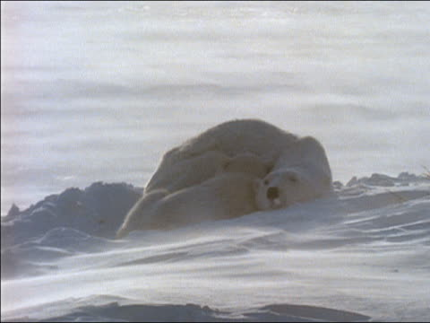 MS polar bear with cub lying on snow