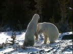 Polar bears (Ursus maritimus) play fighting in clearing in forest, near Churchill, Manitoba, Canada