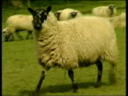 Assembly Labour Launch Manifesto ITN WALES Carnarvon i/c GVs Sheep in field GV Welsh countryside PULL OUT INT Alun Michael MP speech SOT Other...