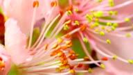 Pollen blooming