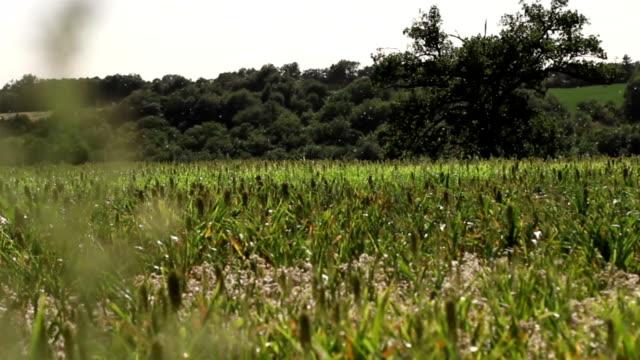 Pollen fliegt auf einem Feld