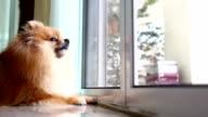 pomeranian dog cute pets in home