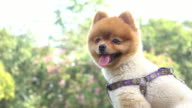 pomeranian dog cute pets
