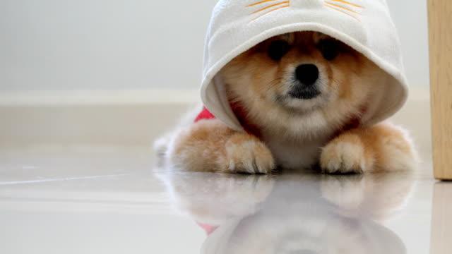 Pommerschen Hund süße Haustiere