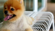 Pomeranian dog happy smile laying down on bench