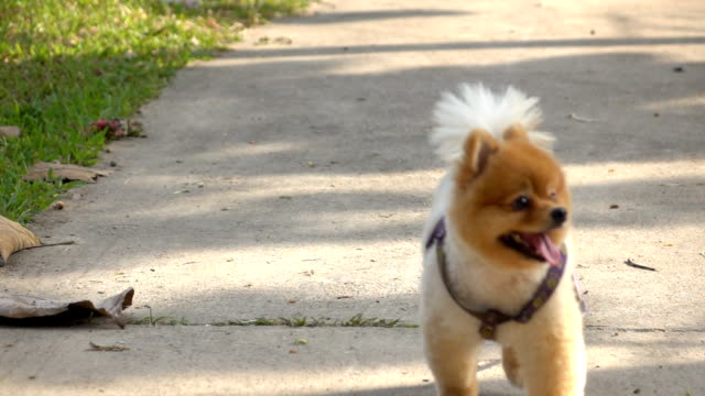 pomeranian dog jogging, slow motion