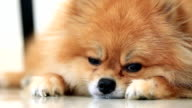 pomeranian dog sleeping