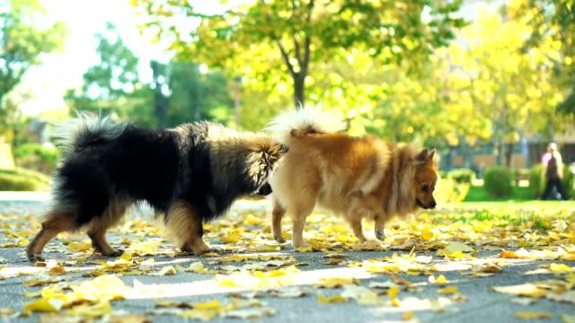 Pomeranian hundar i höst promenad