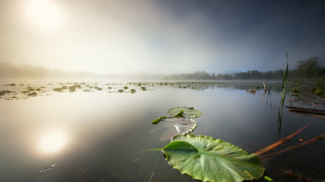 Pond with Lily Pads at dawn
