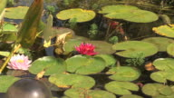 Pond with lotus and fishes