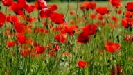Poppies in wheat field