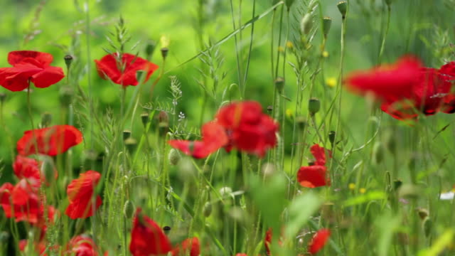 DOLLY: Poppies