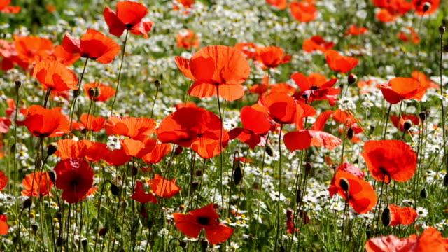 HD: Poppies