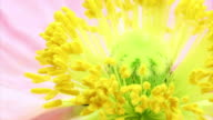 Poppy blooming HD