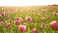 HD DOLLY: Poppy Field Against Late Sunlight