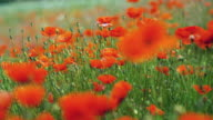 CU, R/F, Poppy field, Black Forest (Schwarzwald), Germany,