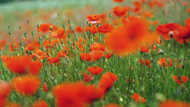 CU, R/F, Poppy field, Black Forest (Schwarzwald), Germany,