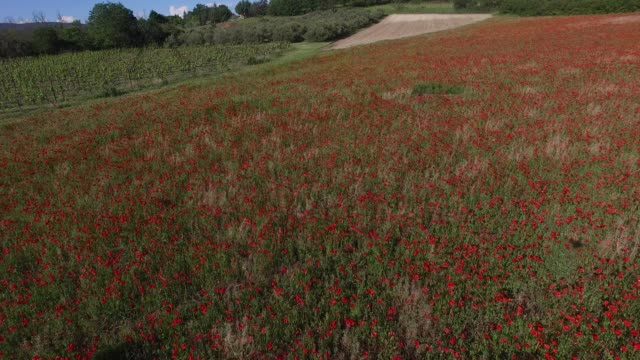 A poppy field in the South of France