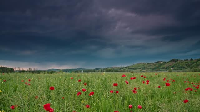 DS-Mohn-Feld im Sturm
