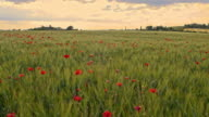 DS Mohn Feld in die ländliche Toskana